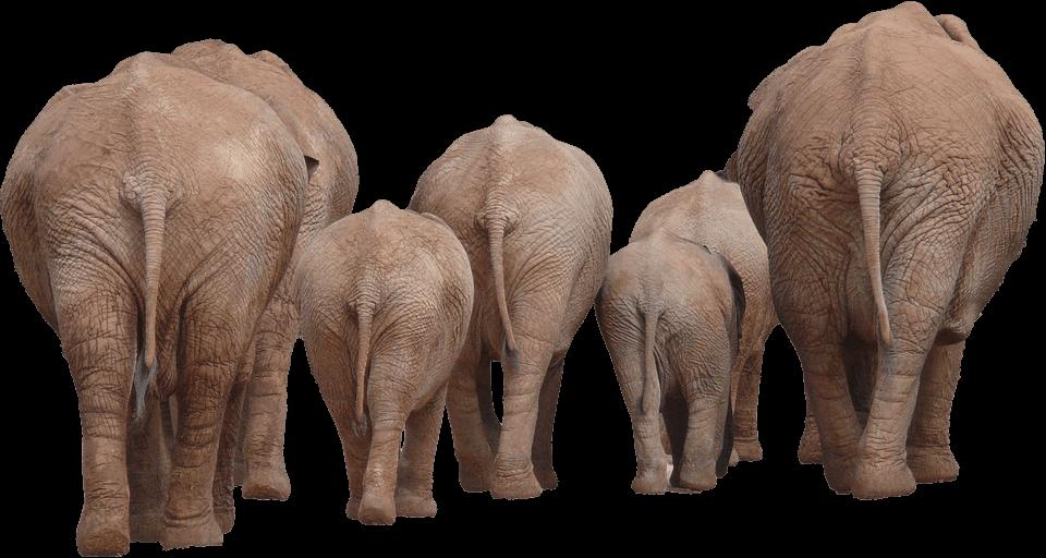 elephnat 1